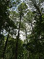 2016-07-20 14 33 22 View up towards the top of several Bald Cypress trees from the trail at the Battle Creek Cypress Swamp in Calvert County, Maryland.jpg