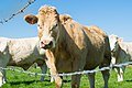 2017-04 cows in Normandy 02.jpg
