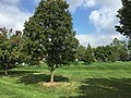 2017-09-18 11 51 32 Green lawn and Callery Pears along Franklin Farm Road near Old Dairy Road in the Franklin Farm section of Oak Hill, Fairfax County, Virginia.jpg