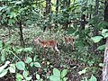 2018-09-03 15 40 57 Two fawns along a walking path in a wooded area of the Franklin Farm section of Oak Hill, Fairfax County, Virginia.jpg
