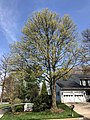 2019-04-11 11 33 13 A Pin Oak blooming along Dairy Lou Drive in the Franklin Farm section of Oak Hill, Fairfax County, Virginia.jpg