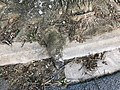 2019-05-21 13 44 39 A Pin Oak root growing through a cement curb along Shamrock Road in Bel Air, Harford County, Maryland.jpg