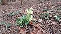 2020-03-01 (105) Primula elatior (true oxlip) at Bichlhäusl, Haltgraben, Frankenfels, Austria.jpg