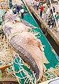 21 ton whale shark (2).jpg
