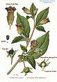 236 Atropa belladona L.jpg