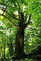 400 years old beech (400年ブナ) - panoramio.jpg