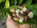 4022Common houseflies cats ants plants foods of Bulacan 12.jpg