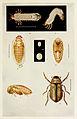 43-Indian-Insect-Life - Harold Maxwell-Lefroy - Anomala-varians.jpg