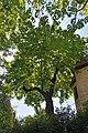46-101-5027 Lviv Rudnytskoho 12 Cladrastis Kentukea RB 18.jpg