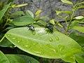 4733Common houseflies in Philippines 36.jpg
