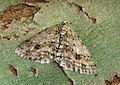 70.270 BF1947 The Engrailed, Ectropis crepuscularia (16653872845).jpg
