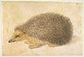 A Hedgehog (Erinaceus roumanicus) MET DP818387.jpg