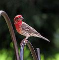 A Purple Finch VS House Finch? (3773173971).jpg