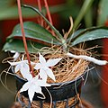 A and B Larsen orchids - Aerangis biloba 1060-12x.jpg