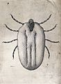 A hard tick (Margaropus annulatus); distended female. Pen an Wellcome V0022609.jpg