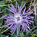 A particularly pretty knapweed (Heit.) (24015281934).jpg