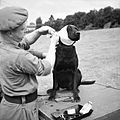 A sergeant of the Royal Army Veterinary Corps bandages the wounded ear of 'Jasper', a mine-detecting dog at Bayeux in Normandy, 5 July 1944. B6496.jpg