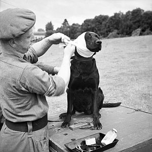 Royal Army Veterinary Corps - A sergeant of the RAVC bandages the wounded ear of  a mine-detecting dog at Bayeux in Normandy, 5 July 1944