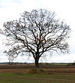 A solitary oak - geograph.org.uk - 1063563.jpg