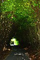 A tunnel of trees - geograph.org.uk - 2381599.jpg