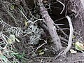 A wasp bike dug out by a badger, Slatehole Woods, Ochiltree, East Ayrshire.jpg