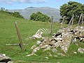 A well-camouflaged sheep near the roadside - geograph.org.uk - 502425.jpg