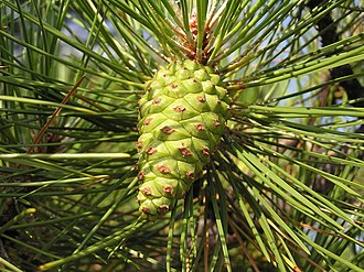 Pinaceae - An immature second-year cone of European black pine (Pinus nigra) with the light brown umbo visible on the green cone scales.