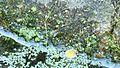 Abeille noire, apis mellifera mellifera, fontaine-lavoir de Kermario.JPG