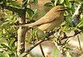 Aberrant Bush Warbler Horornis flavolivaceus by Dr. Raju Kasambe DSCN3403 (3).jpg