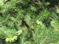 Abies holophylla 02.jpg
