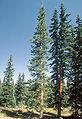 Abies lasiocarpa arizonica1.jpg