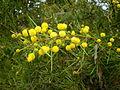 Acacia tetragonophylla 2c.JPG