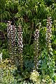 Acanthus spinosus in the Walled Garden of Goodnestone Park Kent England.jpg
