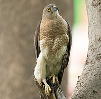 Accipiter badius (Shikra), Gurgaon, India.jpg