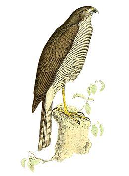 Accipiter madagascariensis 1868