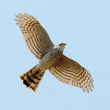 In flight with wings spread, showing barring on underwing and tail