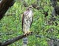 Accipiter tachiro, Kruger NP 1.jpg