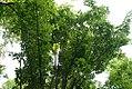 Acer davidii 3zz.jpg