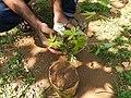 Acer palmatum-2-shevaroy nursery-yercaud-salem-India.jpg