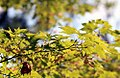 Acer palmatum 'Satsuki-beni' 3.jpg