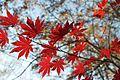 Acer palmatum - Flickr - odako1 (5).jpg