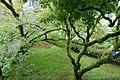 Acer palmatum - Jardim Botânico da Universidade de Coimbra - Coimbra, Portugal - DSC08830.jpg
