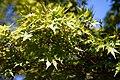 Acer palmatum Sango kaku Coral-bark maple City of London Cemetery .jpg