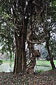Acharya Jagadish Chandra Bose Indian Botanic Garden - Howrah 2011-02-20 1525.JPG