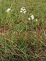 Achillea ptarmica-1.jpg