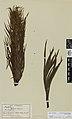 Aciphylla colensoi conspicua Hook.f. (AM AK6396).jpg