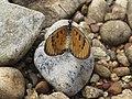 Acraea violae - Tawny Coster - at Peravoor 07.jpg