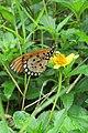 Acraea violae - Tawny Coster at Peravoor (6).jpg