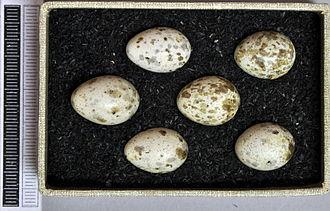 Marsh warbler - Eggs, Collection Museum Wiesbaden