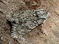 Acronicta aceris - The Sycamore - Стрельчатка кленовая (39243973490).jpg